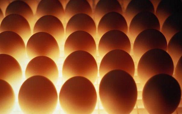 Какие яйца выбрать для инкубации?