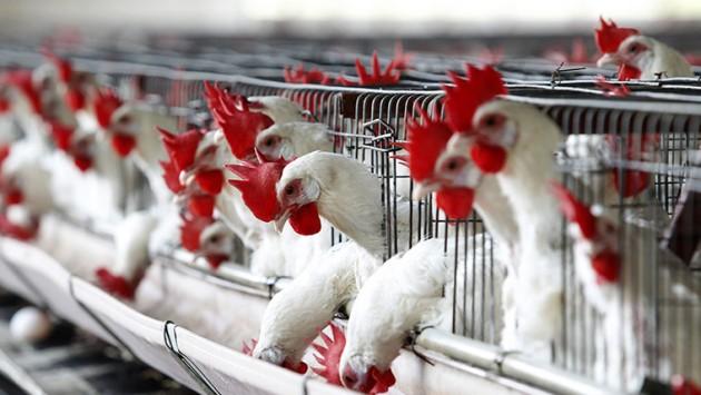 Как зарабатывать на птицеводстве?