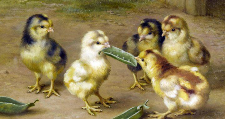 Как отличить пол цыпленка?
