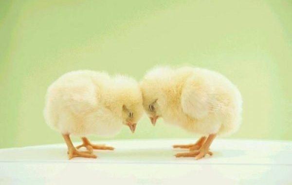 Первые недели жизни цыплят