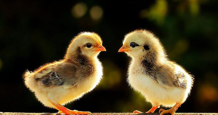 Сколько тепла нужно цыплятам?