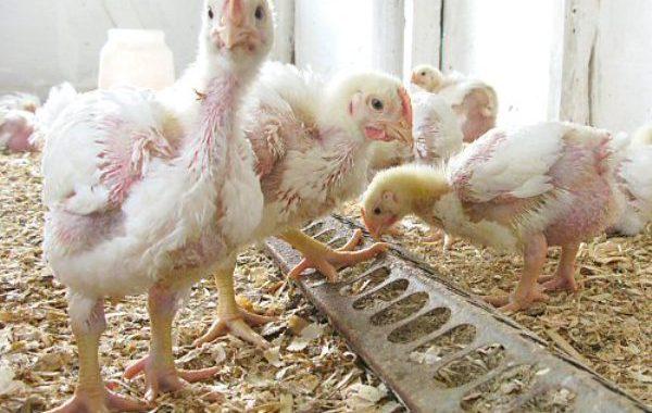 Заболевания и их профилактика у домашней птицы