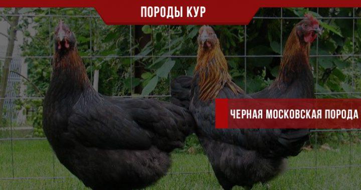 Черная Московская порода кур