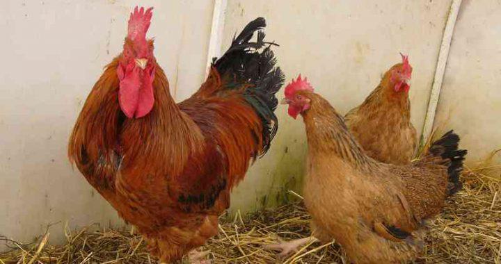 Кучинская порода кур — продуктивность на высоте