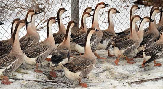 Как ускорить рост гусей?
