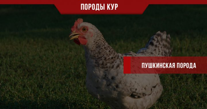 Пушкинская порода кур – курочка «Ряба» на вашем подворье