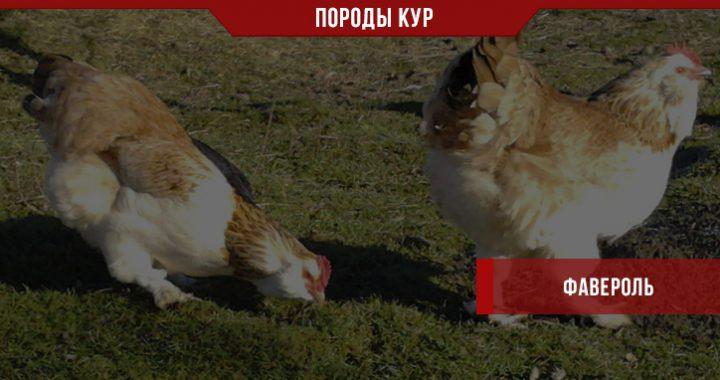 Порода кур Фавероль – бульонная птица