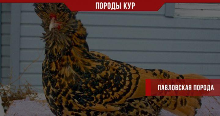 Павловская порода кур – продуктивная или декоративная?