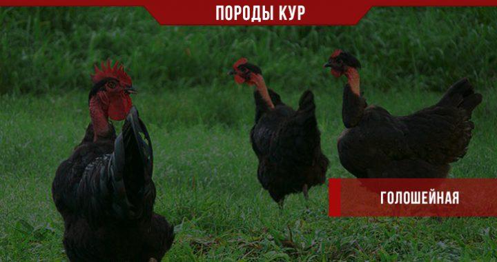 Порода кур Голошейная – экзотика в домашнем хозяйстве