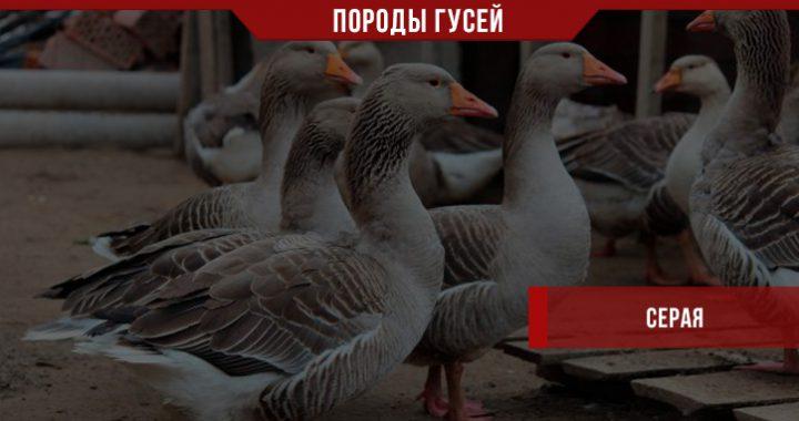 Порода гусей Серая – большие, красивые и продуктивные