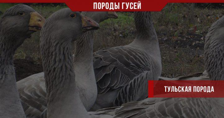 Тульская порода гусей – бойцы на вашем подворье