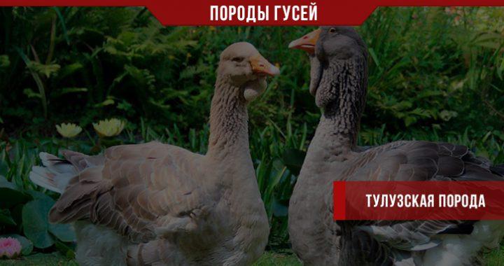 Тулузская порода гусей – гости из Франции