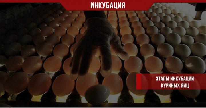 Шаги в инкубации куриных яиц