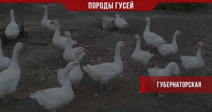 Губернаторская порода гусей – прекрасный выбор