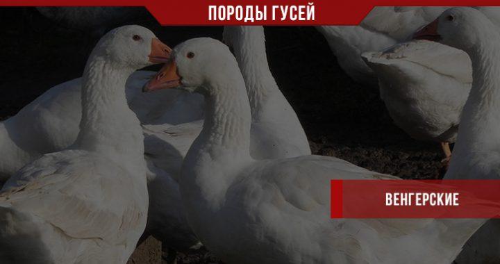 Порода венгерских гусей