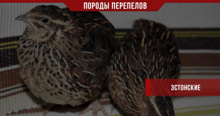 Эстонские перепела – долгожители птичьего двора