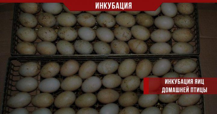 Инкубация яиц домашней птицы