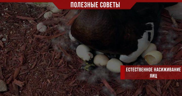 Естественное насиживание яиц