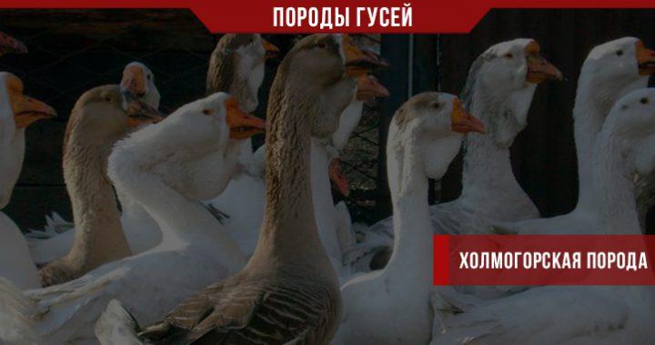 Холмогорская порода гусей – наилучший выбор?