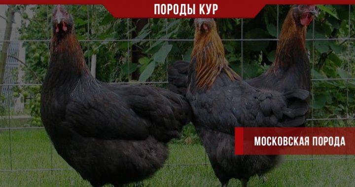 Порода кур Московская – частый житель небольших ферм