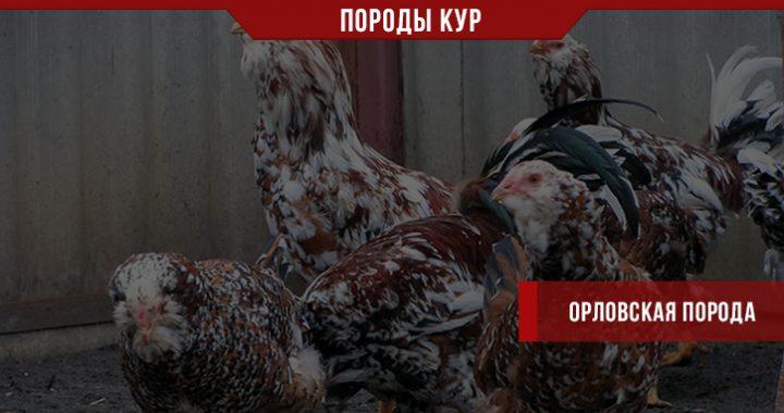 Порода кур Орловская – чем птица покорила заводчиков?