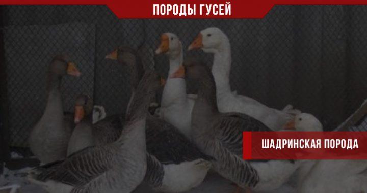 Шадринская порода гусей