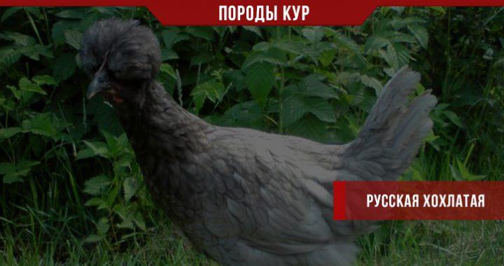 Русская хохлатая порода кур – экстерьер, продуктивность и другие особенности