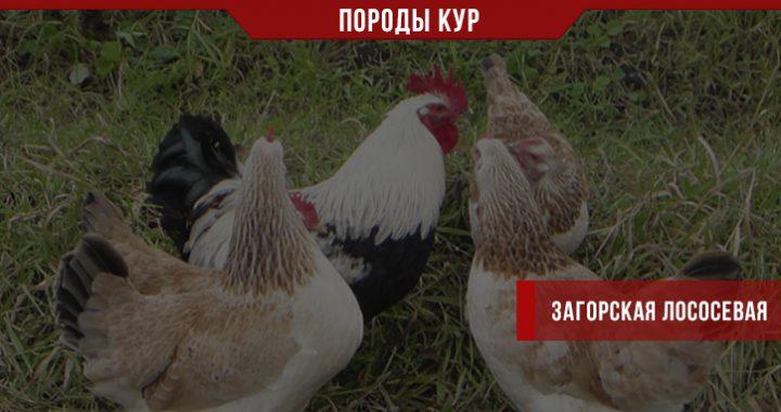 Описание загорской лососевой породы кур