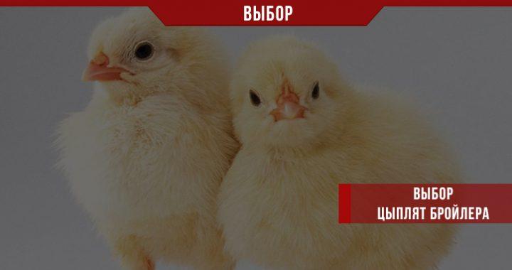 Каких цыплят бройлера лучше выбрать?