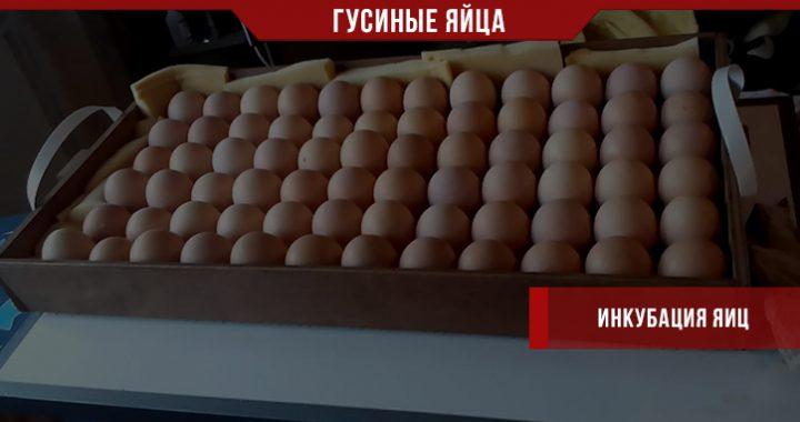 Инкубация гусиных яиц на своей ферме
