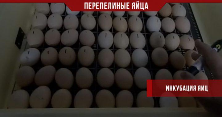 Инкубация перепелиных яиц в домашнем инкубаторе