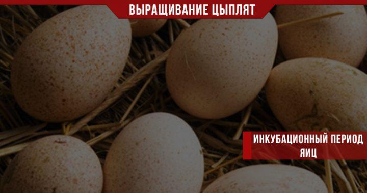 Инкубационный период яиц по дням
