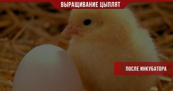 Как выращивать цыплят после инкубатора?