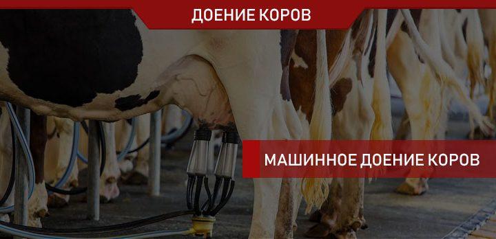 Машинное доение коров: рекомендации экспертов-практиков