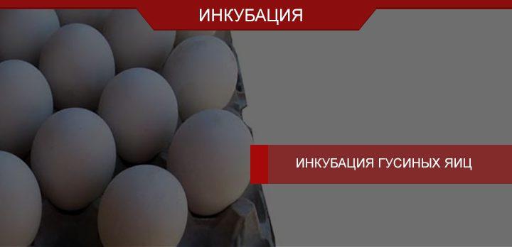 Естественная и искусственная инкубация гусиных яиц