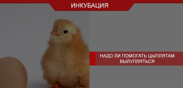 Вылупление цыпленка. Надо ли помогать цыплятам вылупляться?
