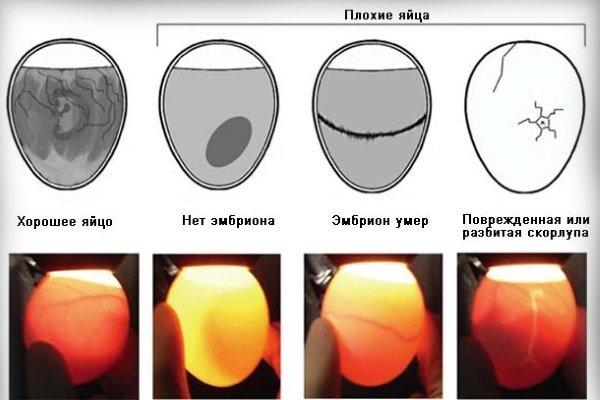 Как отличаются оплодотворенные и неоплодотворенные яйца