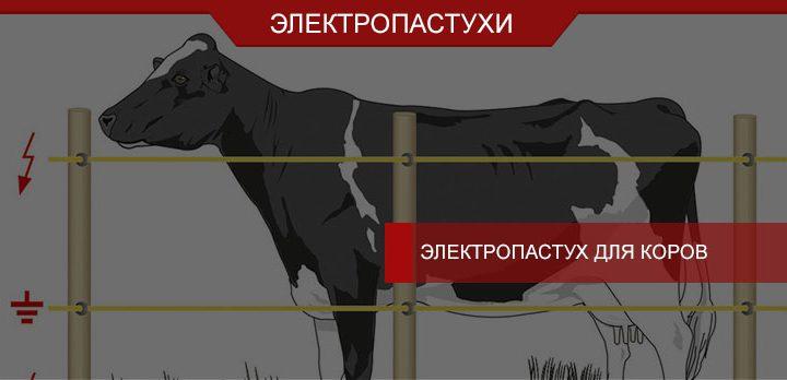 Электропастух для коров: тонкости выбора и использования