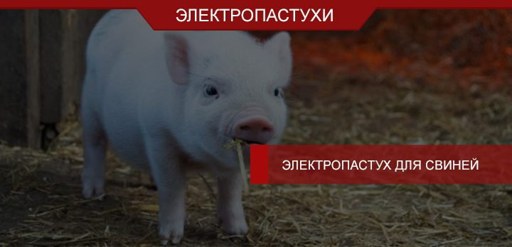 Электропастух для свиней: практичный, выносливый, мощный