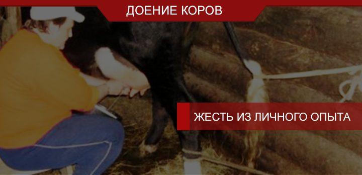 Доение коров руками: жесть из личного опыта