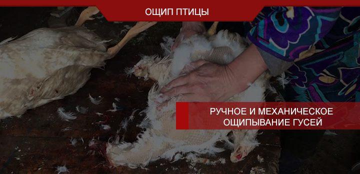 Ручное и механическое ощипывание гусей
