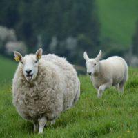Для овец, коз